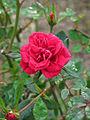 Rose Violetta バラ ヴィオレッタ (5189466741).jpg