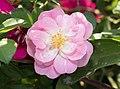 Rose in BBG (84638).jpg