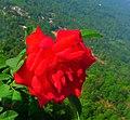 Rose top.jpg