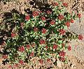 Rosy sedum Sedum rosea top VA L.jpg