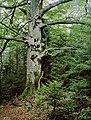 Rotbuche, Naturdenkmal Nr. 97.jpg