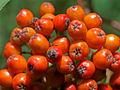 Rowan Sorbus aucuparia Gillies Hill 8-2-08.jpg