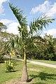 Roystonea regia var. maisiana 4zz.jpg