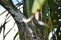 Roystonea regia var. maisiana 7zz.jpg
