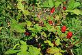 Rubus allegheniensis NRCS-011.jpg