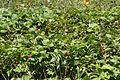 Rubus vernus s2.jpg
