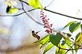 Ruby-throated hummingbird (19245041954).jpg