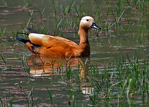 Ruddy Shelduck (Tadorna ferruginea)- Female at Bharatpur I IMG 5336.jpg