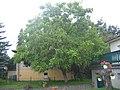 Ruhland, Parkstr. 12, Trompetenbaum; Ostansicht, August.jpg