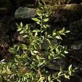 Ruscus aculeatus 20090810 2.jpg