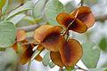 Russet Bushwillow (Combretum hereroense) fruits (17379790516).jpg