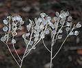 SDC10504 - Veronica spicata ssp. incana.JPG