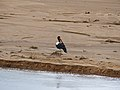 Saddle-billed Stork (Ephippiorhynchus senegalensis) male resting on a sandbank in Limpopo River (11755716174).jpg