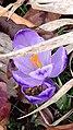 Saffron - Crocus vernus 25.jpg