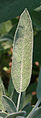 Sage - Salvia officinalis.jpg