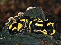 Salamandra salamandra Male Karpaty.jpg