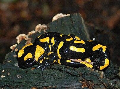 Fire Salamander (Salamandra salamandra), Malé Karpaty, Slovakia
