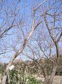 Salix chaenomeloides3.jpg