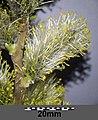 Salix cinerea (s. str.) sl13.jpg