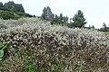 Salix lapponum kz03.jpg