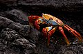 Sally Lightfoot Crab (6519194657).jpg