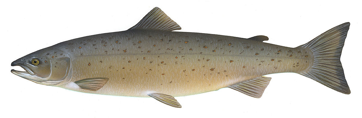 Atlantic salmon wikipedia for Salmon fish images