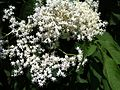 Sambucus nigra flowers.JPG