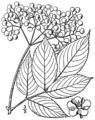 Sambucus nigra ssp canadensis BB-1913.png