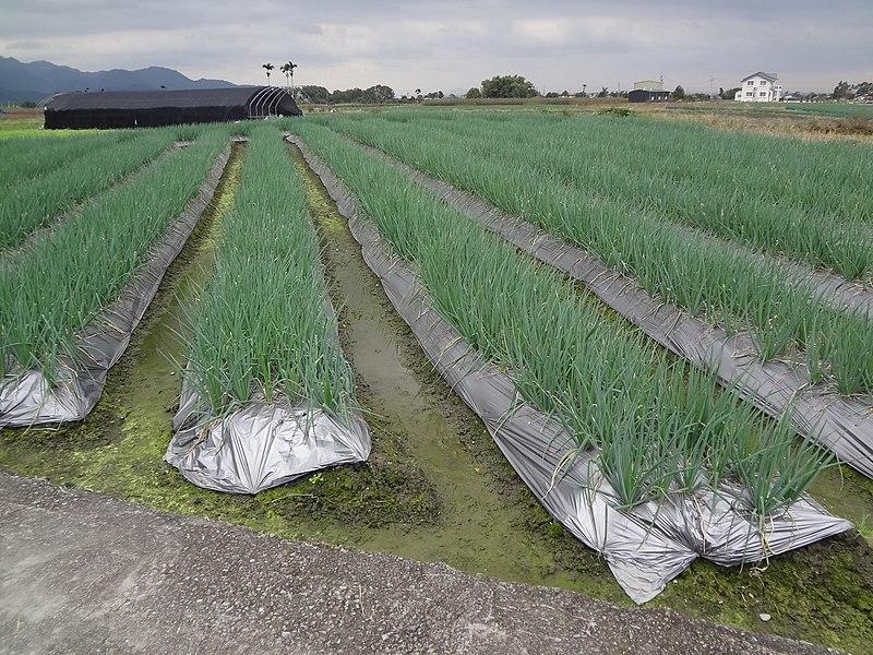 File:Sansing Green Onion fields 20141206.jpg