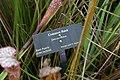 Sarracenia leucophylla Tarnok 9zz.jpg