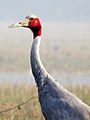 Sarus Crane Grus antigone by Dr. Raju Kasambe DSCN7348 (3).jpg
