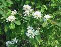 Saskatoonberry flowering.jpg