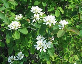 Saskatoonberry flowering.jpg