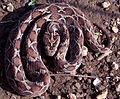 Saw Scaled Viper Echis carinatus.jpg