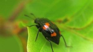 File:Scaphidium quadrimaculatum - 2012-05-19.webm