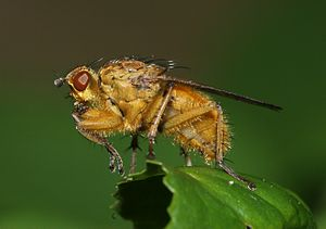 Evolutionary game theory - Dung Fly (Scatophaga stercoraria) – a War of Attrition player