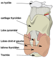 Schema thyroide larynx.svg