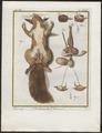 Sciurus vulgaris - geslachtsorganen - 1700-1880 - Print - Iconographia Zoologica - Special Collections University of Amsterdam - UBA01 IZ20400021.tif