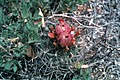 Sclerocactus glaucus fh 29 34 COL B.jpg