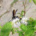 Scolia sp. - Flickr - gailhampshire (3).jpg