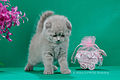 Scottish fold- straight 14.JPG