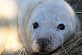 Seal - Donna Nook December 2009 (4195068445).jpg
