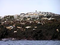 Seals on North Rock.jpg