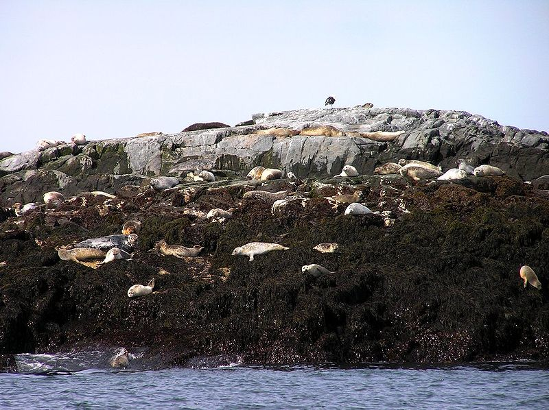 File:Seals on North Rock.jpg