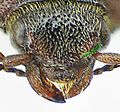 Selatosomus cruciatus head.jpg
