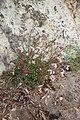 Senecio elegans kz11.jpg