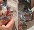 Serrasalmus rhombeus - Flickr - Dick Culbert.jpg