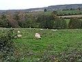 Sheep in the field near Dunchideock - geograph.org.uk - 1565584.jpg