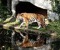 Sibirischer Tiger Panthera tigris altaica Tierpark Hellabrunn-20.jpg