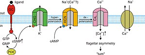 Cyclic nucleotide–gated ion channel - An example of the role of cyclic nucleotide–gated ion channels in sea urchin sperm chemotaxis.